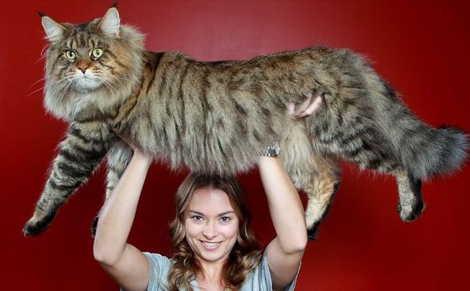 15.Cat Barbell