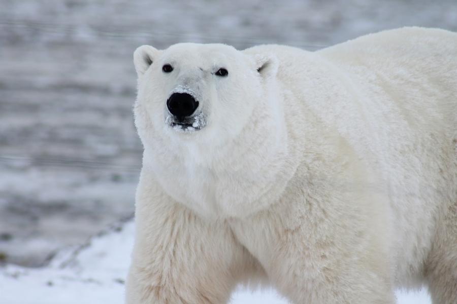 002--17-polar-bear-ce27103c07b95a79bca3447413a35cbb