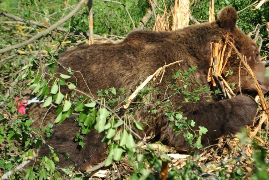 003--16-the-bear-is-one-of-many-victims-91a9e383108d56ab24e9ce4d08f5e207