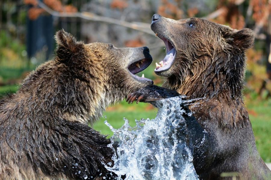 004--15-grizzly-bears-b1ec05cf90a55695d9876d05b6b73037