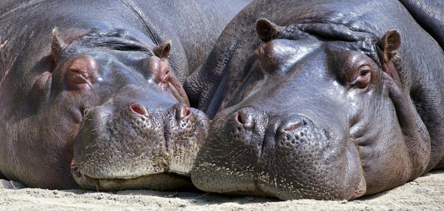 013--6-hippopopotamus-56f916a4ade6763e2a8c1fbe386b4df8