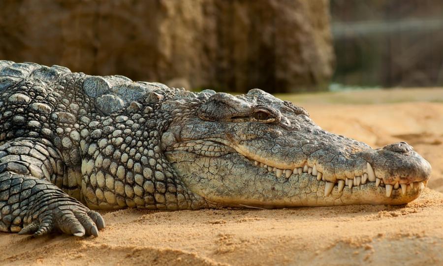 014--5-crocodile-fa23b678cde55dbae3307e241956a2ab