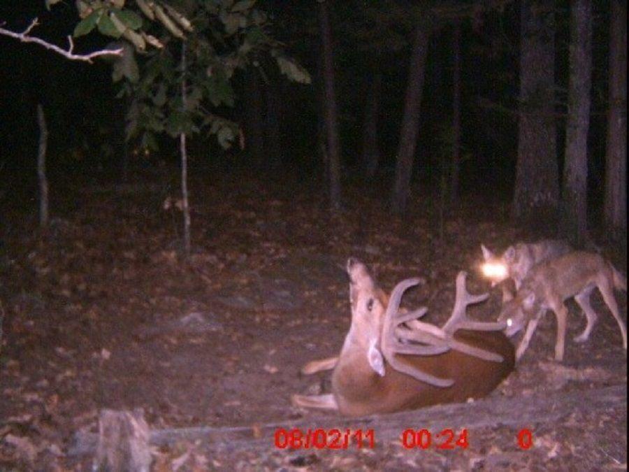 016--3-another-deer--227091