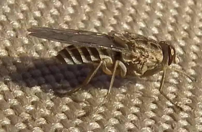 017--2-tsetse-fly-251241