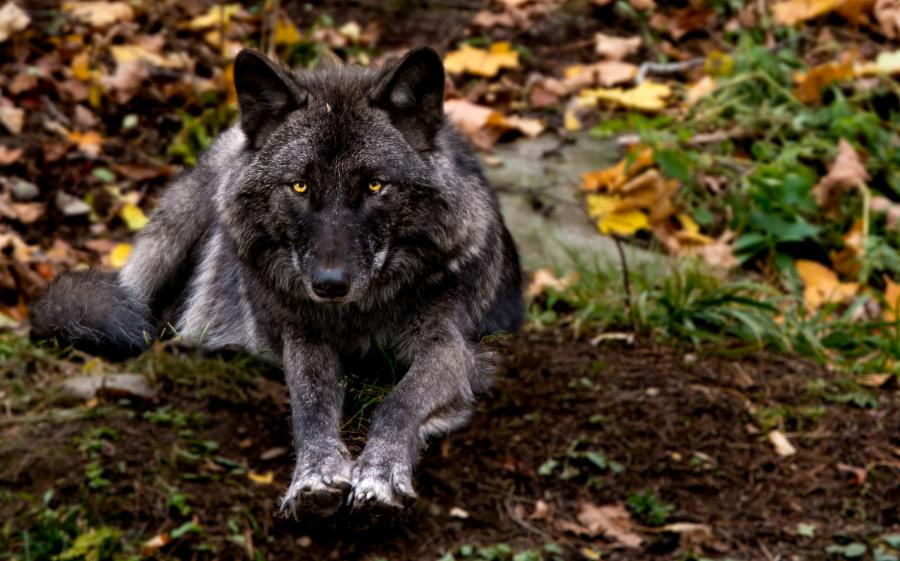 001-the-average-misconception-about-wolves-3bd42a61838bcaee231d67f7880155ea