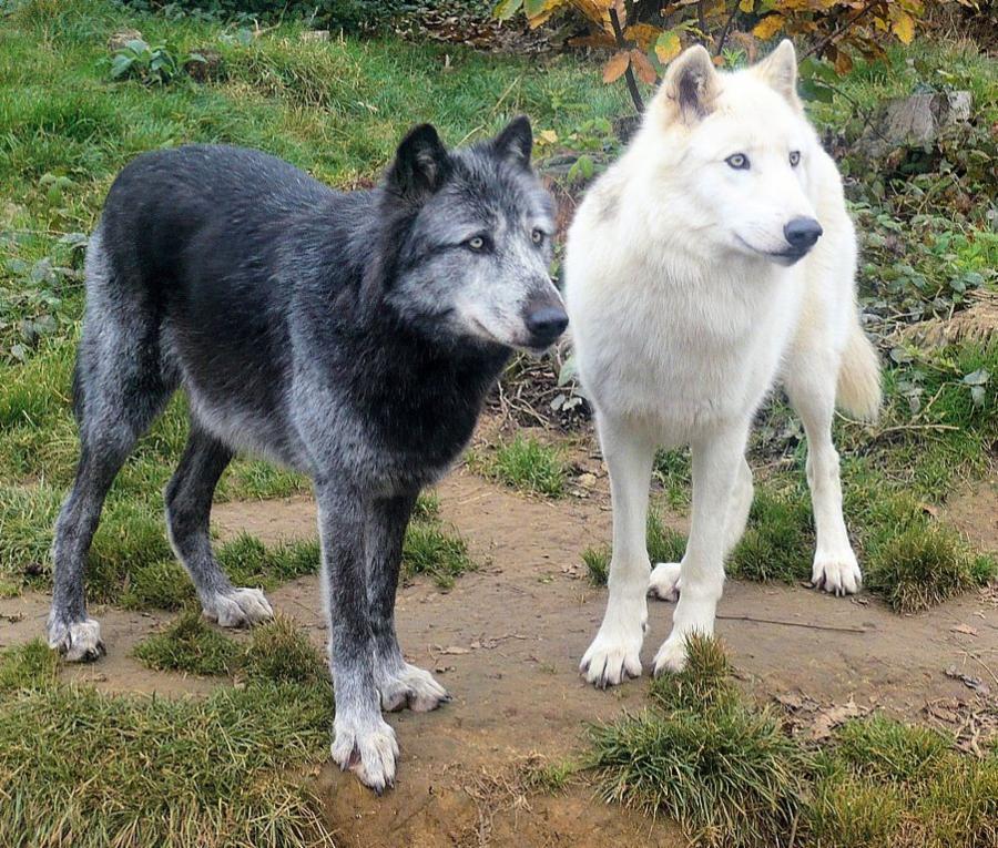 003-dog-meets-wolf-a698e957014007f4e3660bd5e699a028