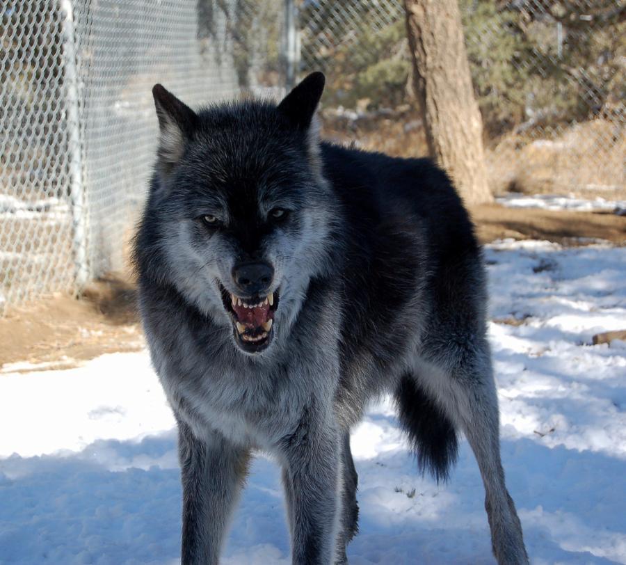 004-wolf-behavior-varies-063e8546cccfd06d2d1ce2ce311e105f