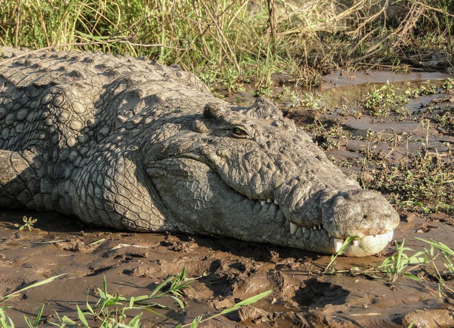 005-8-nile-crocodile-100-years-55f7b032f3206d89303d6894cf48e04a