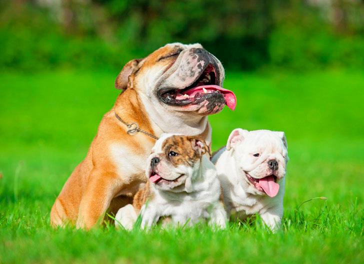 006--7-bulldog-619777