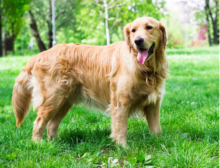 011--2-golden-retriever-619578