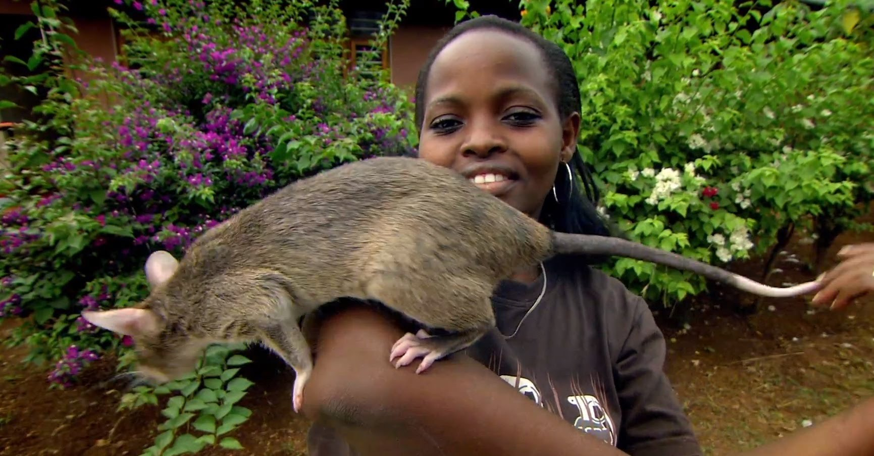 gambian giant pouched rat