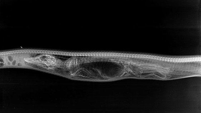 python-eats-crocodile-4