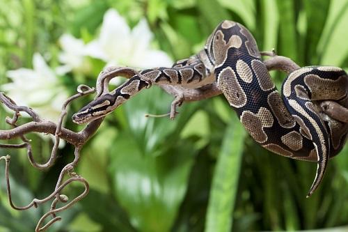 Royal Python snake rested on branch