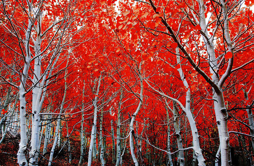 Red-Leaf Trees