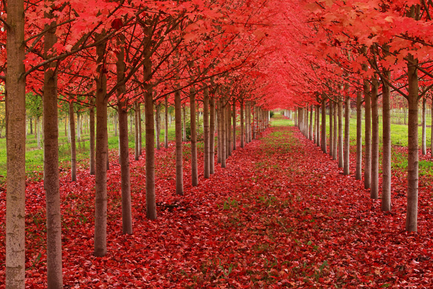 Carpet of Red Leaves