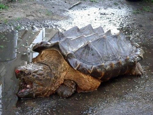 The Dinosaur-Like Turtle