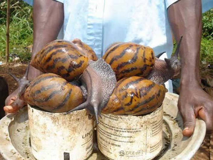 african giant snail