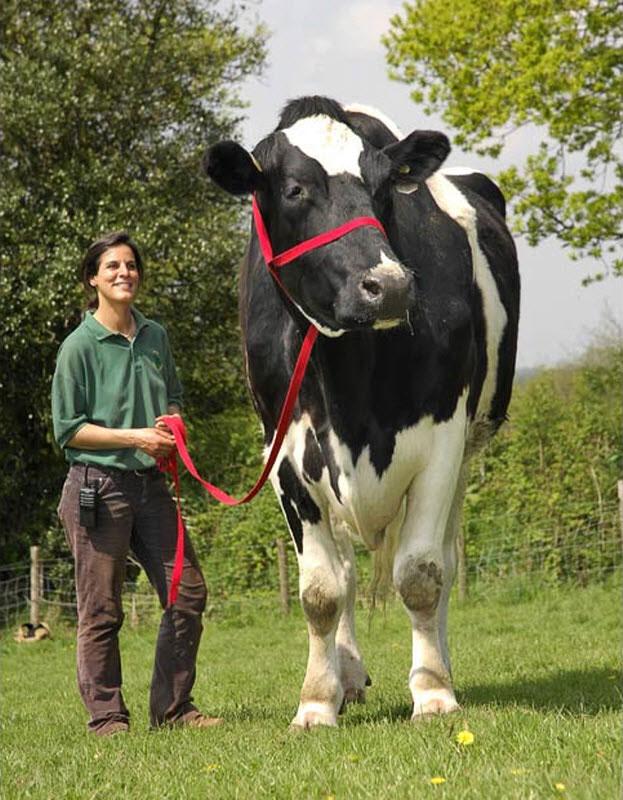 chilli the cow