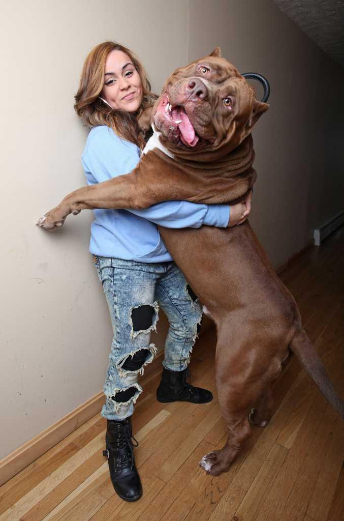 giant pit bull