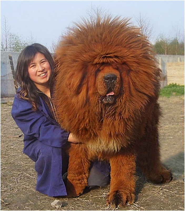 giant red tibetan mastiff