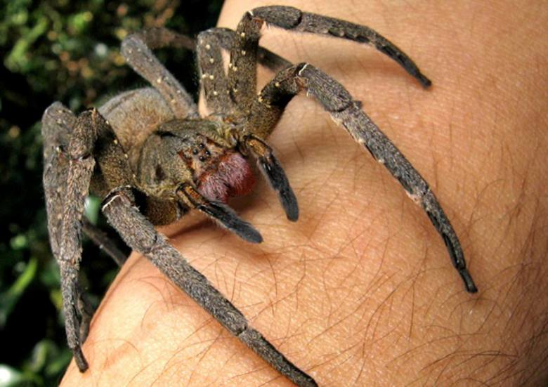 001--18-brazilian-water-spiders-251209