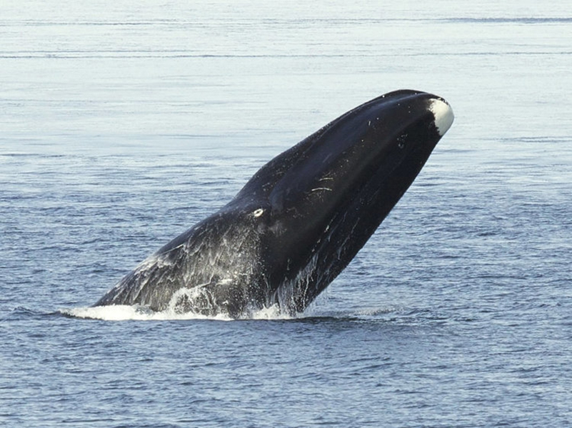 002-11-bowhead-whales-211-years-525089