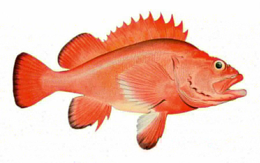 003-10-rougheye-rockfish-200-years-409fbb0b31040f75721d579838bb735e