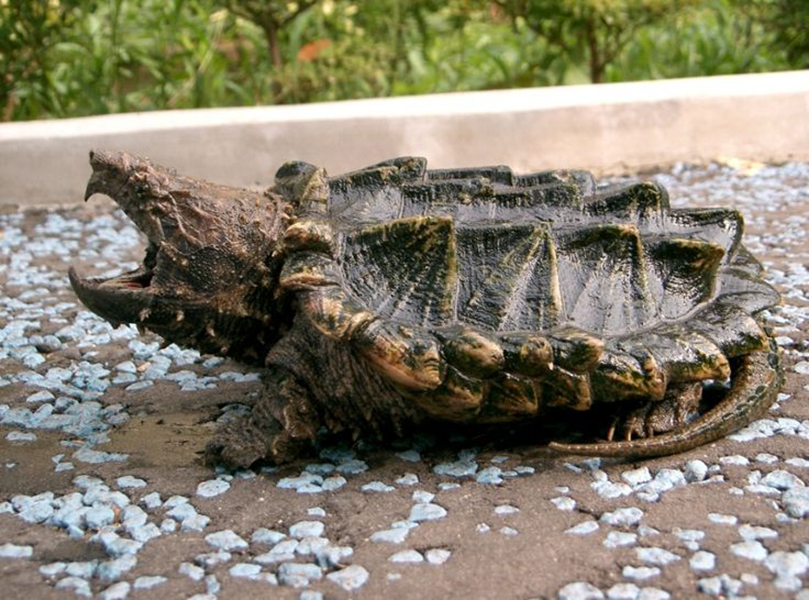 009-4-alligator-snapping-turtle-200-years-525122