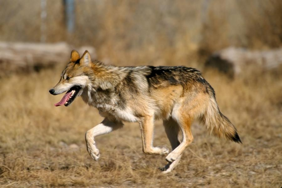 010-the-wolf-who-played-with-people-a46c1ca71ef174eaae01306a24f10f83