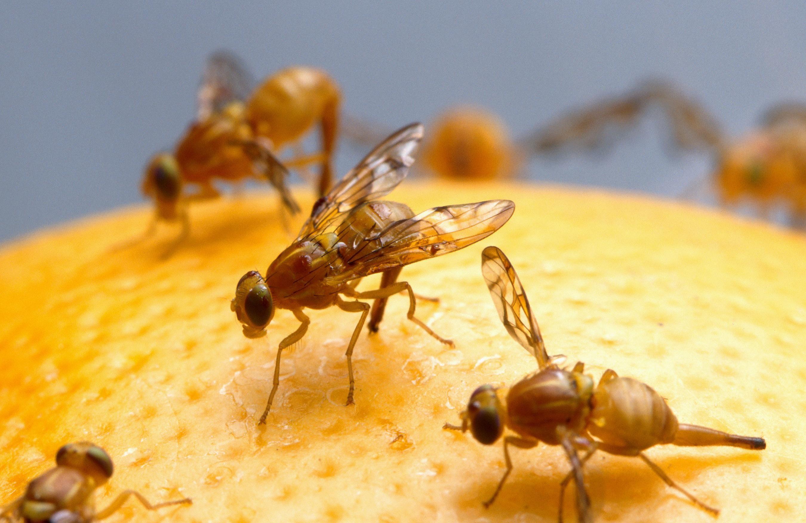 fruit flies2