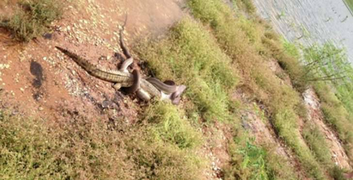 snake-vs-crocodile